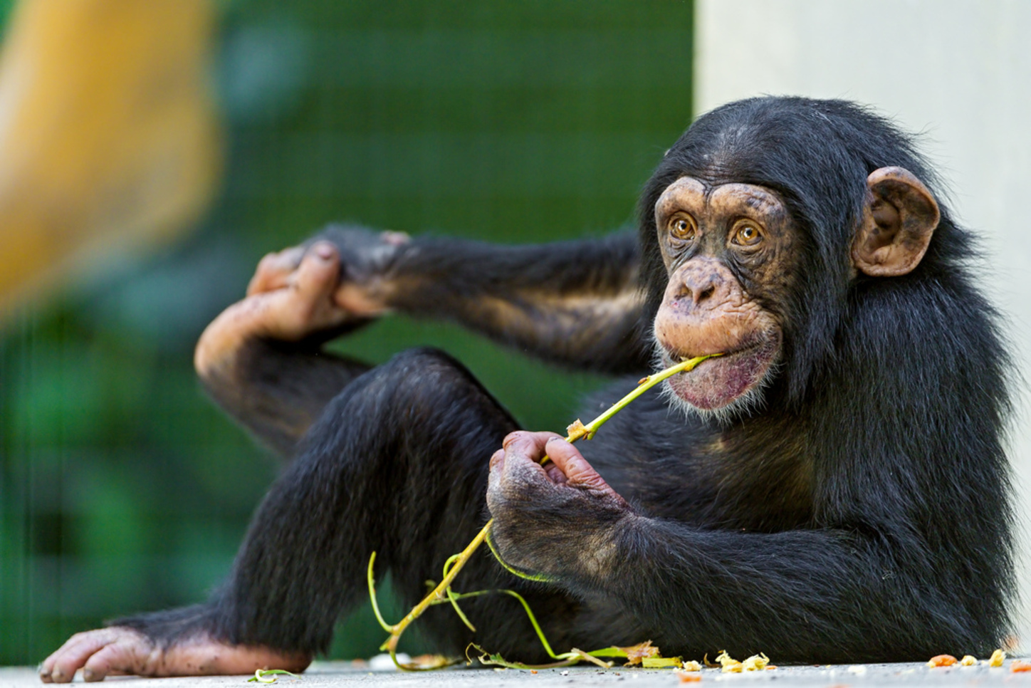 a paper on the behavior of chimpanzees Sexual behavior, ape, africa - chimpanzees and bonobos behavioral differences between chimpanzees and bonobos essay - introduction as our neighboring living families, chimpanzees as well as bonobos have been extensively used as prototypes of the behavior of early hominids.